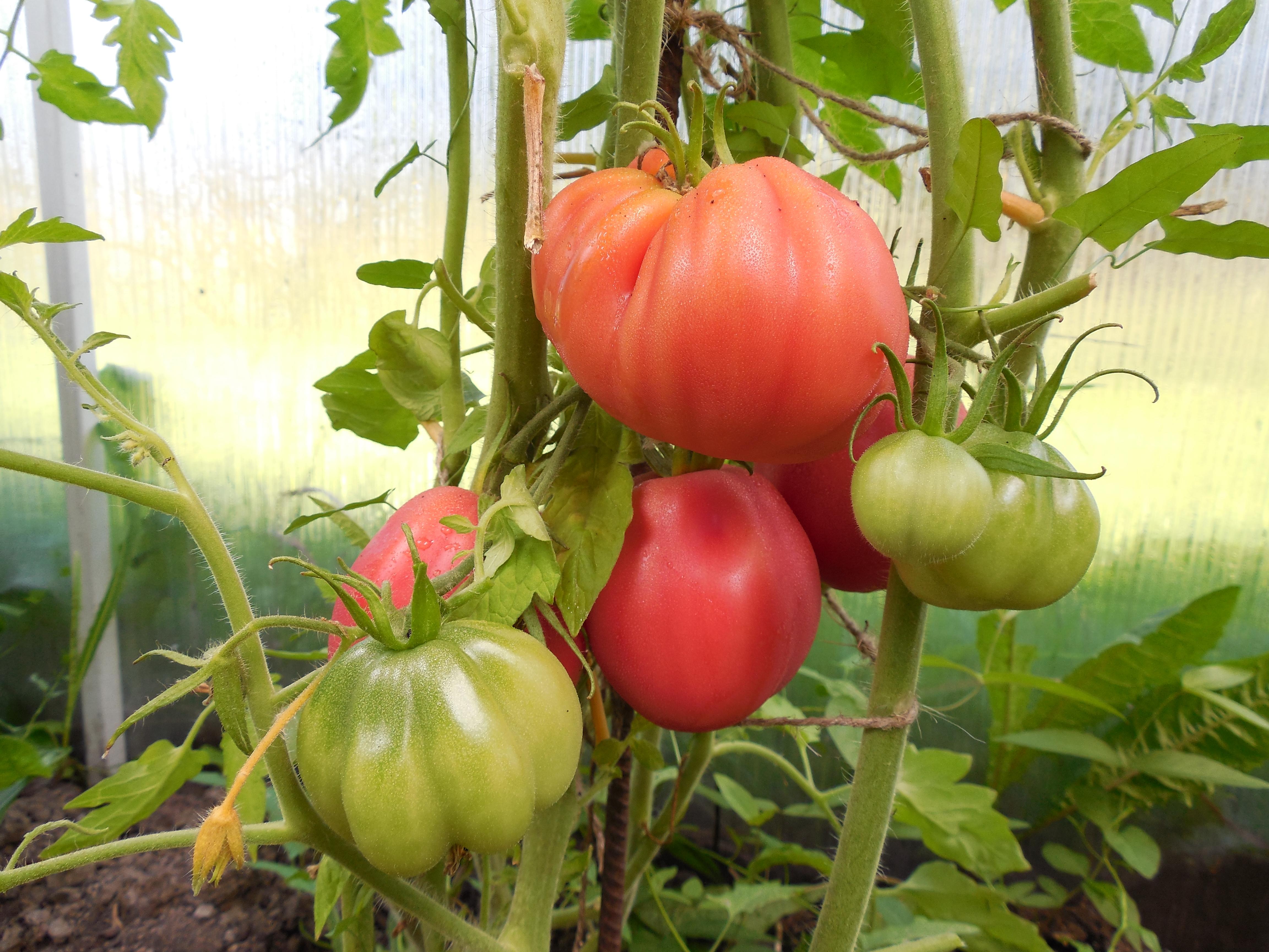 Томаты - производство овощей
