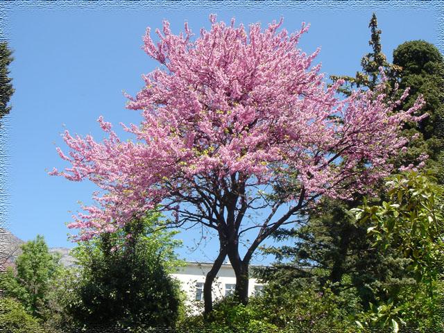 شجرة الماغنولية  841786dd6e30c6ebb57276a22e4cafc7