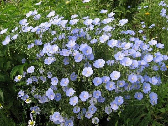 Ленок цветы как сажать 54