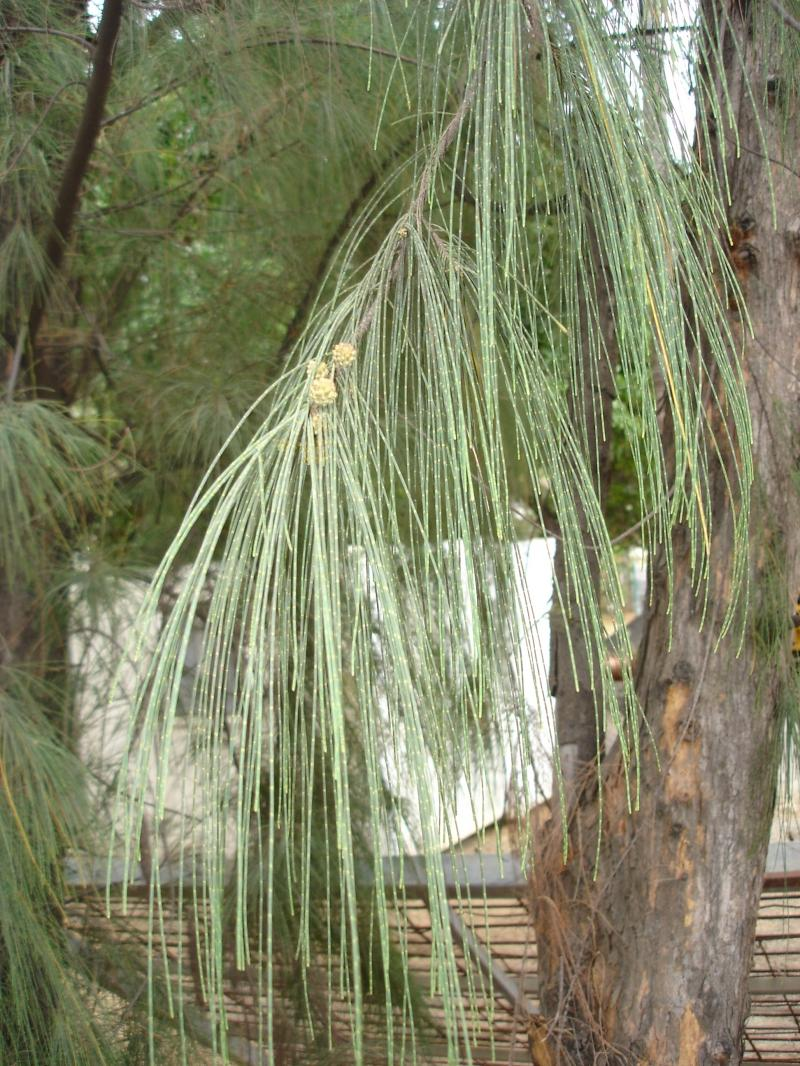 our causarina tree Our casuarina tree (compilation) the two faces of modern india in the novel the white tiger by aravinth adiga our casuarina tree is a poem published in 1881 by toru dutt.