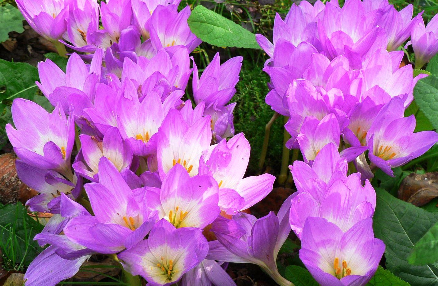 Осенние цветы безвременник фото