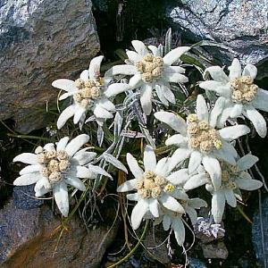 Эдельвейс альпийский (около 300 семян).