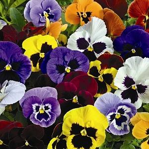 Виола Виттрока, анютины глазки-микс пяти цветов (около 500 семян).