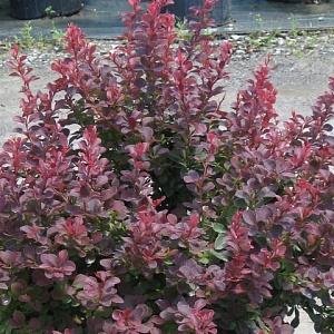 Барбарис Тунберга пурпурнолистный (около 100 семян).