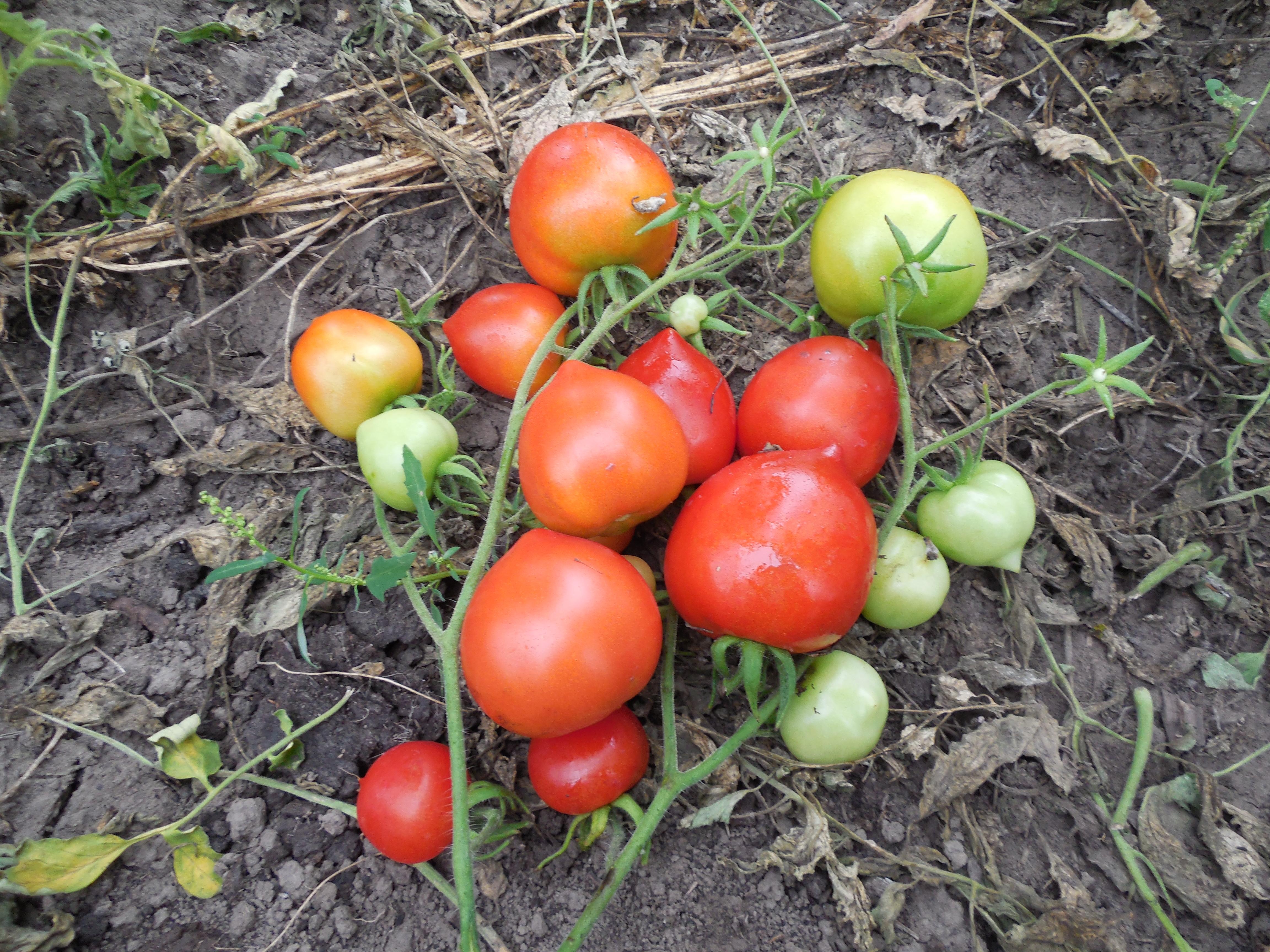 Дней от цветка до помидора