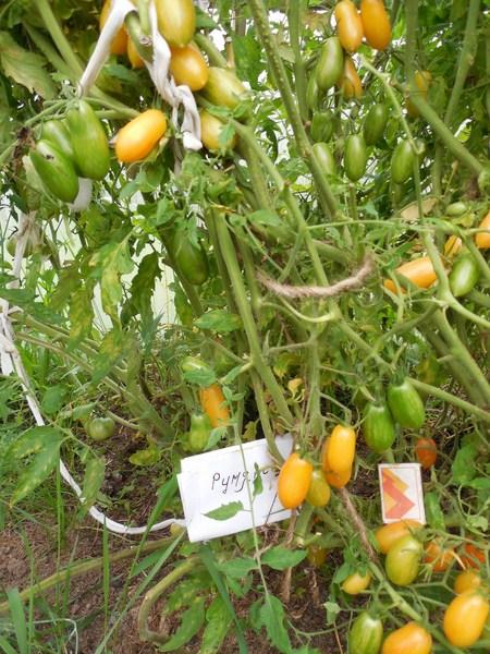 томат стыдливый румянец отзывы фото результате охотник