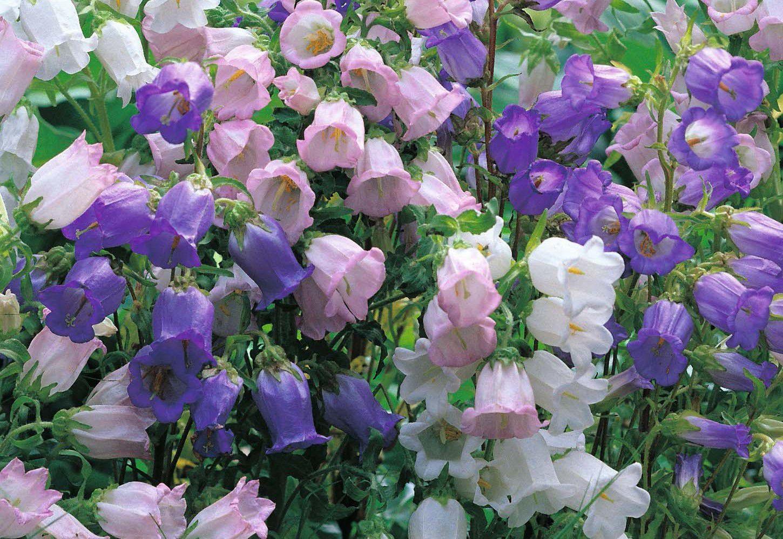 киркоров является кампанелла цветок фото садовый придумали множество