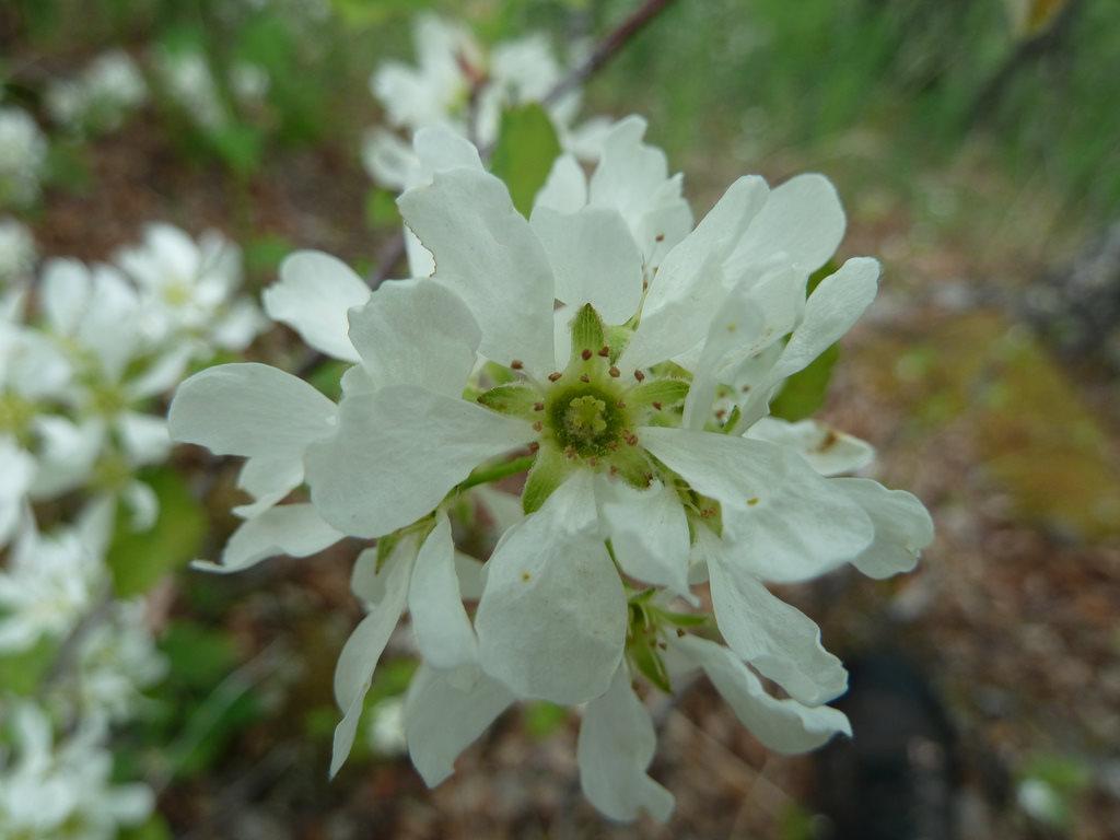 Букет, цветы ирги купить в днепропетровске