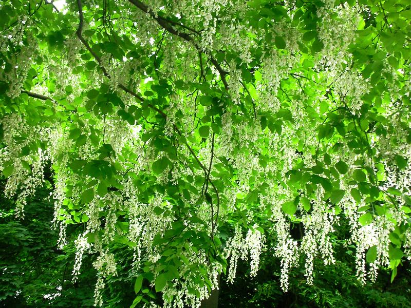 семена японской софоры