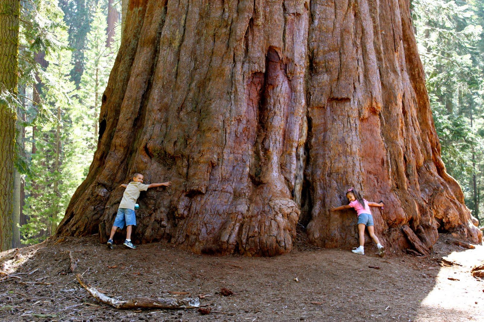 без гигантские деревья фото перенести фото
