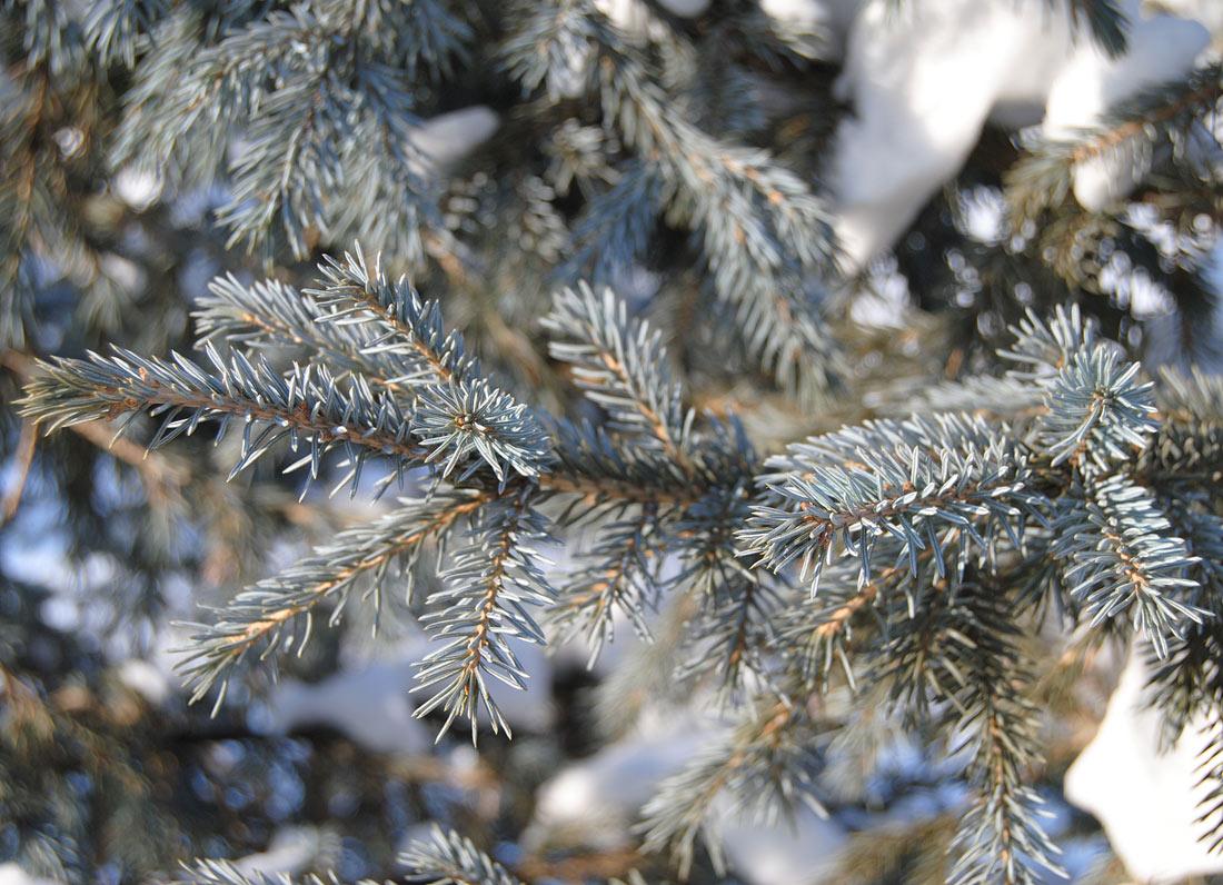правильные цвета ель сибирская сизая фото новосибирске возобновили